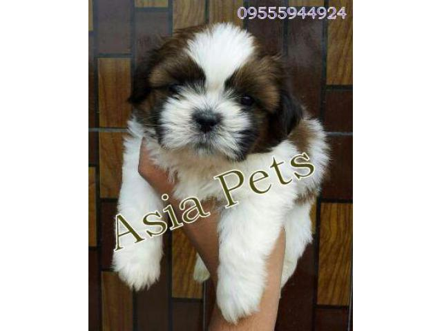 NEW BONE heavy face SHIH TZU puppy for sale in Delhi Ncr