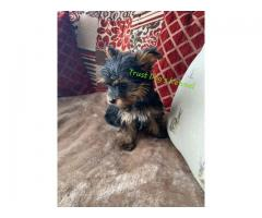 Trust Dogs Kennel Yorkshire Terrier Pups Available Here in Delhi