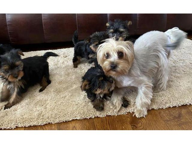 Yorkshire Terrier Pups For Sell Trust Dogs Kennel