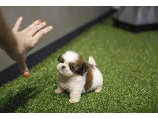 SHIHTZU PUPPIES AVAILABLE FOR SALE IN BEST PRICE DELHI NCR 7042450221