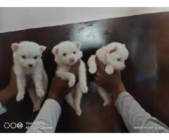 Spitz Puppies For Sell White Colour black nose