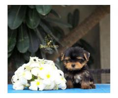 Tea Cup / Toy Yorkshire Terrier Pure Breed Import Lineage Puppies Available - 8888134466