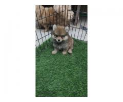 Tavaqqo Pets Hub Pimpom Puppies For Sale Affordable Pups Available.