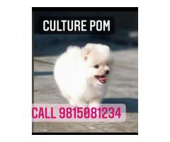 Mini Culture POM Male Puppy Available in Jalandhar City. CALL:9815081234