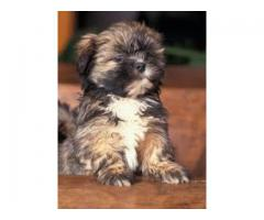 7042450221| (DELIVERY AVAILABLE) TOP CLASS LHASA APSO PAIR MALE ND FEMALE BOTH IN DELHI NCR