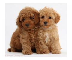 Poodle puppies for sale in delhi ncr