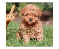 Healthy male Poodle puppies for sale in delhi ncr