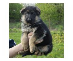 Top Quality German Shepherd Puppies available 9793862529