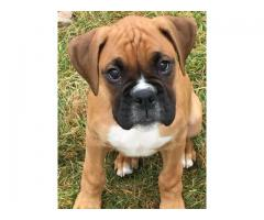 Heavy Bone Boxer Certified Puppies available 9793862529