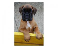 Certified Boxer Heavy Bone Puppies available 9793862529