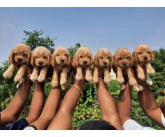 8130990153 Top quality Cocker spaniel pups available 5 male 4 female