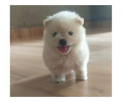 Min Pom White Puppy Available