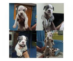 Pitbull puppies available 7200349948