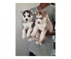 Top quality Husky   puppies PUREBREED male and female available in Chennai contact no:9791152871