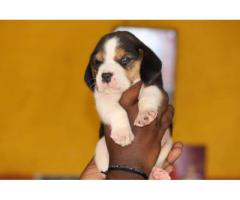 Top quality Beagle  puppies PUREBREED male and female available in Chennai contact no:9791152871