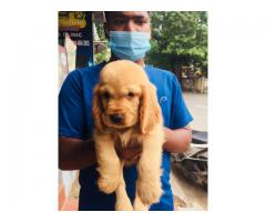 Top quality Cocker spaniel  puppies available in Chennai contact no:9791152871