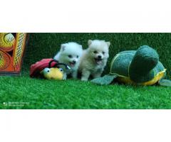 White Pim Pom Puppies Available