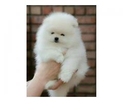 Toy Pom Beautiful Tea Cup Puppies available 9793862529