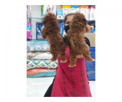 Cute and Adorable lhasa apso puppies are available