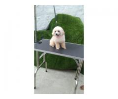 Top Quality All breed puppies available 9891116714 Toy Poodle