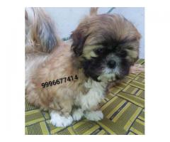 Show quality Lhasa aapso Pup Available