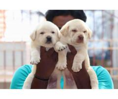 Top quality  LAB  puppies PUREBREED male and female available in Chennai contact no:9791152871