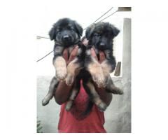 Top quality  German Shepherd  puppies PUREBREED available in Chennai contact no:9791152871