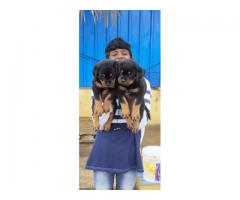 Top quality  Doberman  puppies PUREBREED male and female available in Chennai contact no:9791152871