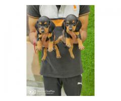 Dachshund pure breed pedigreed pups sale call now 9971331250
