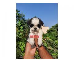 Top Notch quality Shihtzu puppies available in Delhi ncr call me @  96502 26362