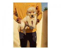 CALL ON 9354699839 , BEST 40DAYS GOLDEN RETRIEVER PUP FOR SALE |