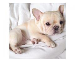 CALL ON 9354699839 , BEST 40DAYS FRENCH BULLDOG PUP FOR SALE |