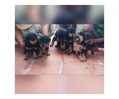 Heavy Size Parent Rottweiler puppies Available