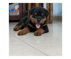 Home litter Awesome Quality Rottweiler puppies 7200349948