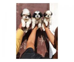 Very cute Shihtzu pups for available 9212501257