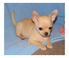 Toy Size Fawn Chihuahua Male Pup Ready To Move