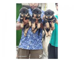 Pawarfull Dog Rottweiler pups for Available 9212501257
