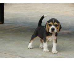 45 DAYS BEAGLE PUP 7042450221, READY TO MOVE NEW HOME  