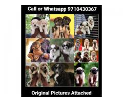 All Type Of Pure Breed Puppies in One Place chennai 971043