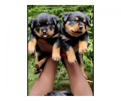 Rottweiler male and female available at Chennai