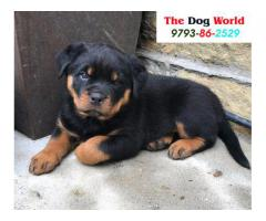 Punch Face Rottweiler Puppies available 9793862529