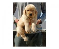 CALL ON 8368241911, BEST 40DAYS GOLDEN RETRIEVER PUP FOR SALE