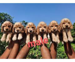 Dog kennel@@@cocker spaniel@@@ puppies for sale....8368241911