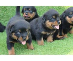 HEAVY QUALITY ROTTWEILER IN DELHI Ncr FOR SALE (8368241911)