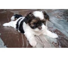 Beautiful Lhasa puppies 40 days old home bred