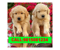 Golden Retriever  Puppies Available. CALL:9815081234
