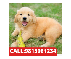 EXCELLENT QUALITY GOLDEN RETRIEVER  PUPPIES IN KAPURTHALA .CALL:9815081234