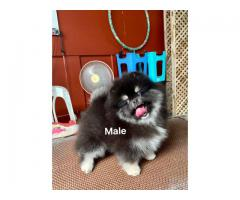 Tavaqqo Pets Hub  Fastival Offer Toy Pom Puppies Available  Call 8882234770