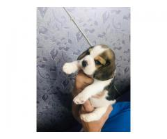 Extra ordinary Quality puppies Beagle available for sale in Delhi 9555944924