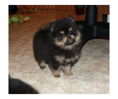 Black And Tan Pom Pups For Sale